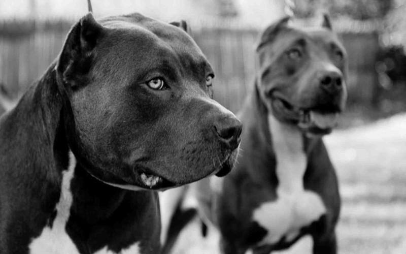 ТОП 20 самых опасных пород собак в мире