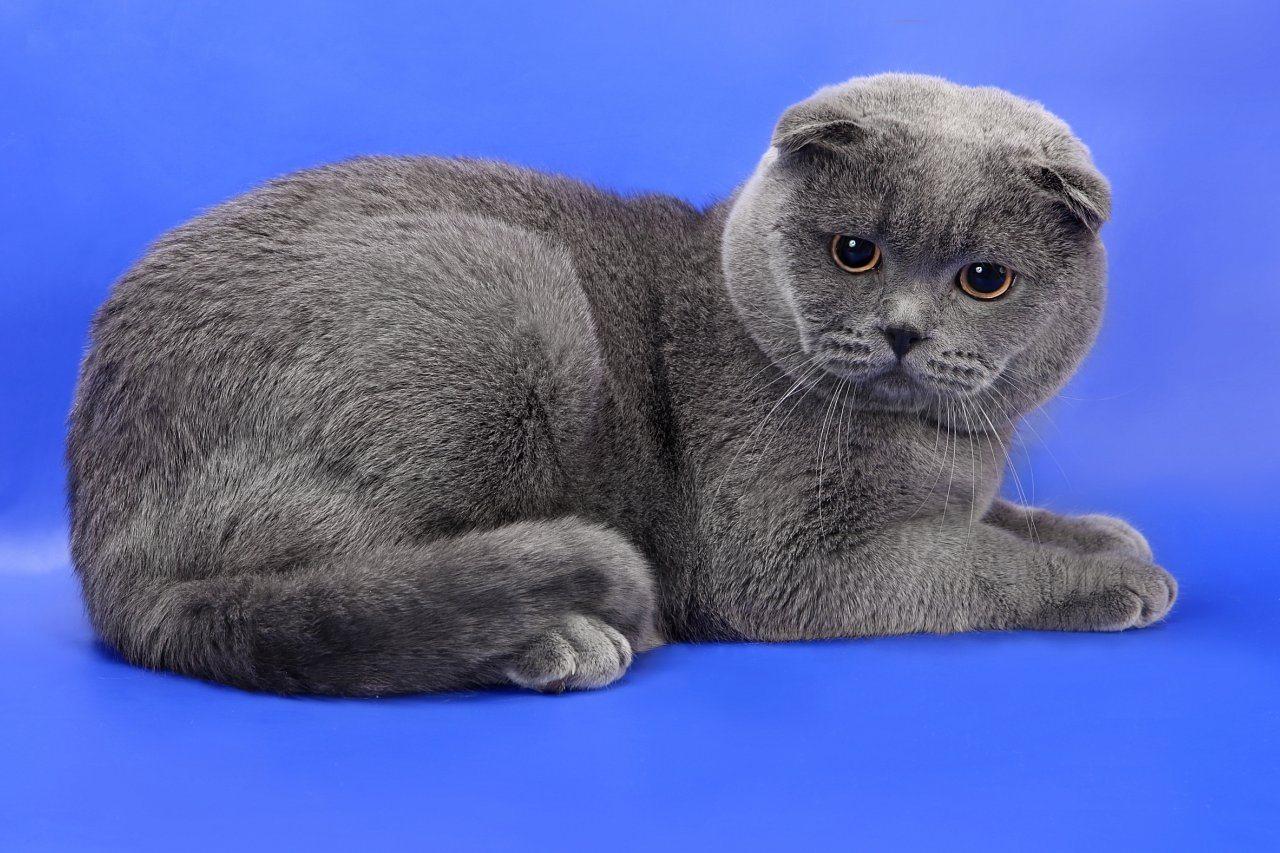 молитва помощи фото кошек шотландцев вислоухих вам подборку нескольких