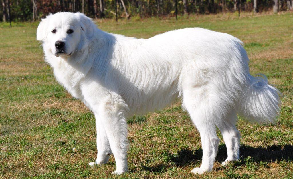 Горная порода собак картинки