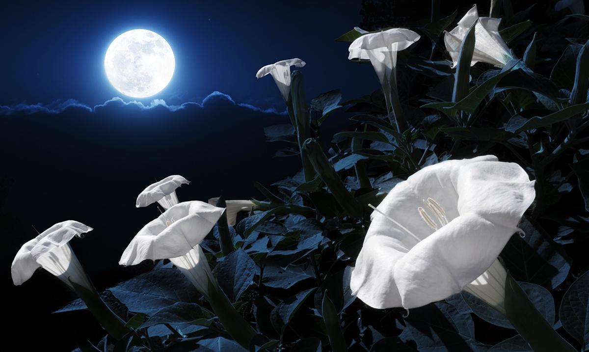 лунный цветок фото в саду рабочий стол фильма